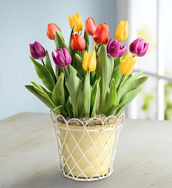 Colorful Tulip Bulb Garden