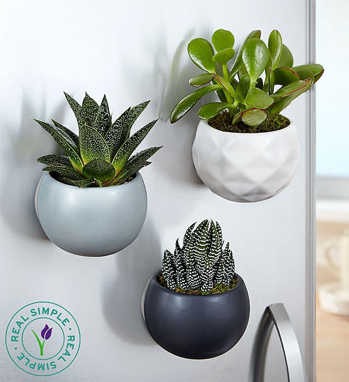 Magnetic Succulent Trio by Real Simple