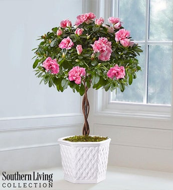 Azalea Topiary by Southern Living