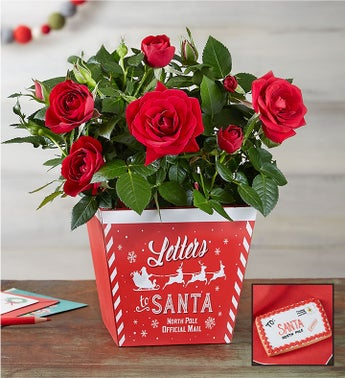 Letters to Santa Red Rose Plant  Free Cookie