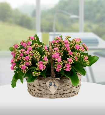 Blooming Kalanchoe Basket